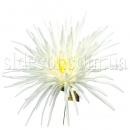 Головка хризантемы