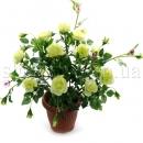Куст бело-зеленых роз в горшке
