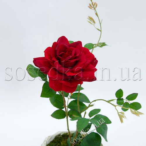 Красная роза в горшочке