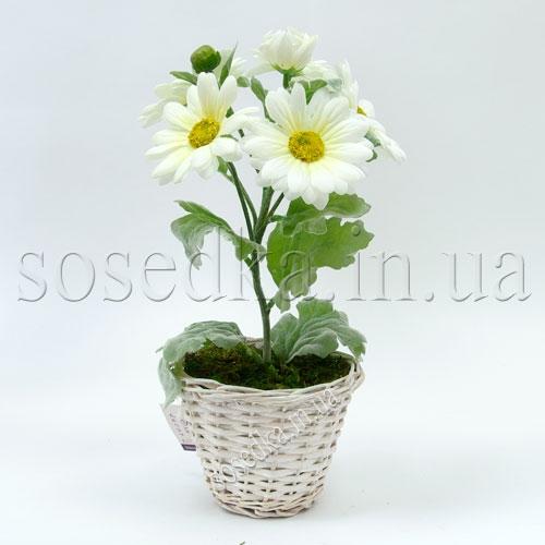 Красивые хризантемы