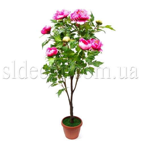 Пион розовый куст