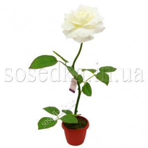 Роза  горшочке
