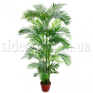 Высокая пальма Арека